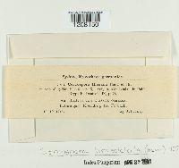 Cercospora bloxami image