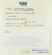 Chrysocyclus cestri image