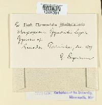 Chrysopsora gynoxidis image