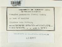Image of Conoplea geniculata