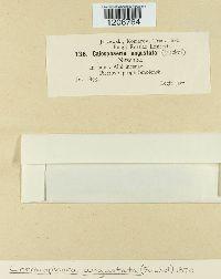 Coronophora angustata image