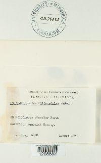 Cylindrosporium filipendulae image