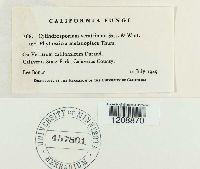 Cylindrosporium veratrinum image