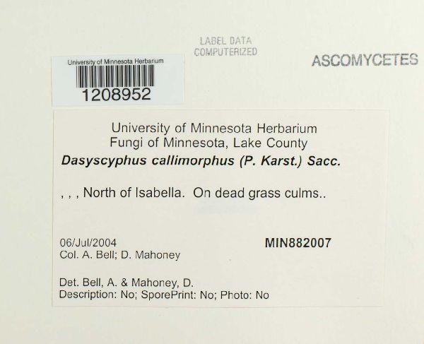 Lachnum callimorphum image