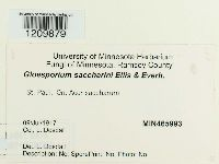 Image of Gloeosporium saccharini