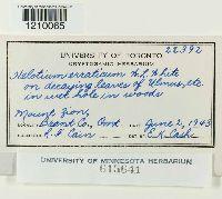 Image of Helotium erraticum