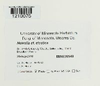 Helvella elastica image
