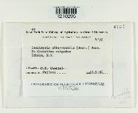 Isariopsis alborosella image