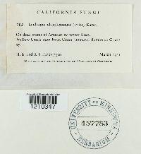 Lachnum clandestinum image