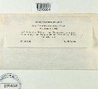 Albotricha acutipila image