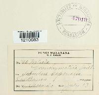 Meliola parenchymatica image