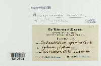 Mycosphaerella recutita image