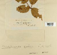 Mycosphaerella confusa image