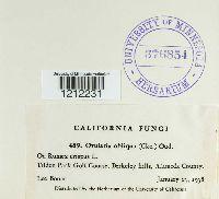 Ovularia obliqua image