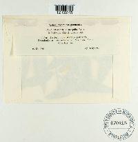 Ovularia stachydis image