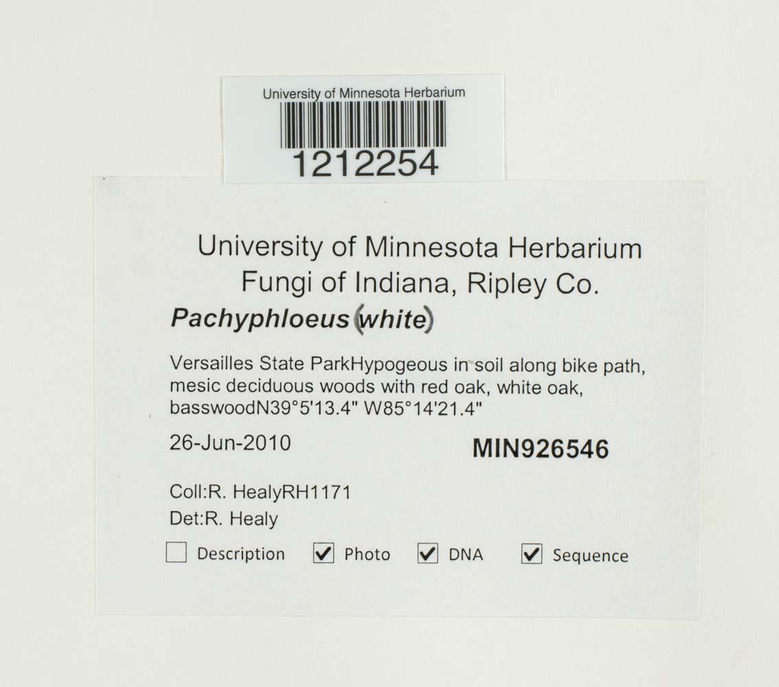 Pachyphloeus image