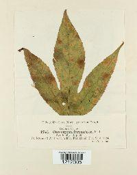 Passalora ferruginea image