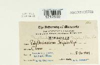Cymadothea trifolii image