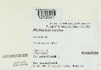 Phyllactinia guttata image