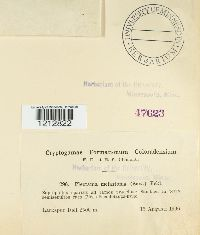 Plectania melastoma image