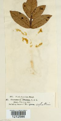 Pseudocercospora rhoina image