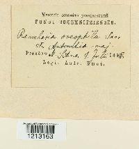 Ramularia oreophila image