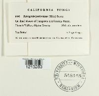 Chloroscypha sabinae image