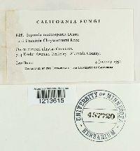 Septoria macrosporia image