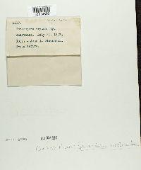 Sphaerulina oryzina image