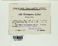 Stenella lythri image