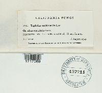 Taphrina occidentalis image