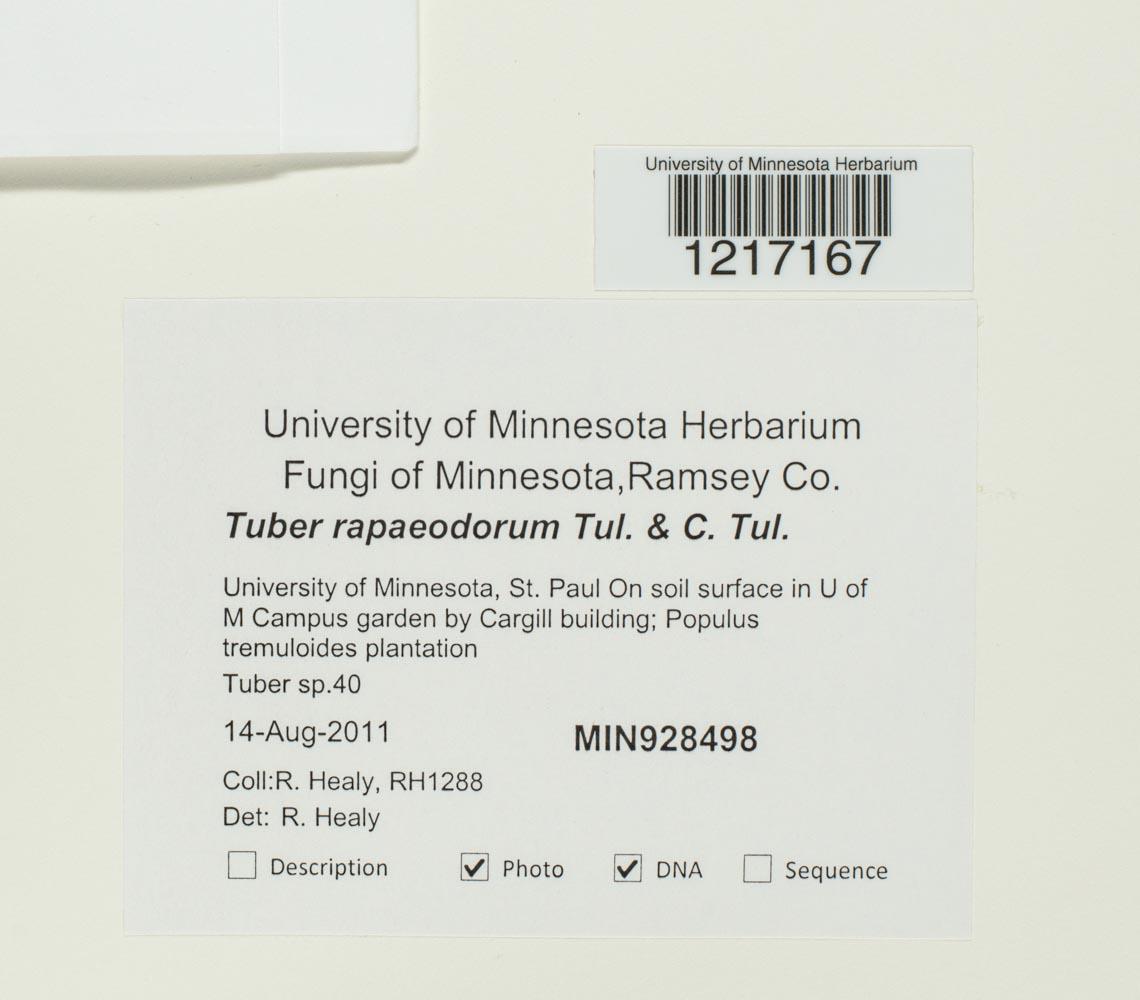 Tuber rapaeodorum image