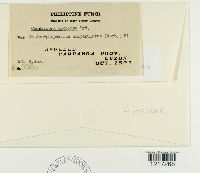 Image of Pseudocercospora protensa