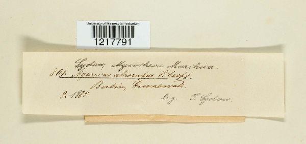 Agaricus alborufus image