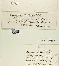 Agaricus melleus image