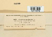 Armillaria nardosmia image