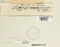 Auricularia sambucina image
