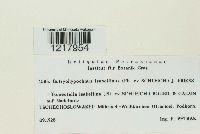 Botryohypochnus isabellinus image