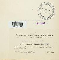 Cortinarius decumbens image