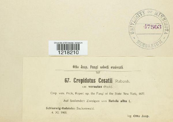 Crepidotus cesatii image