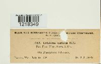 Entyloma castaliae image