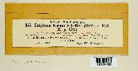 Entyloma fuscum image