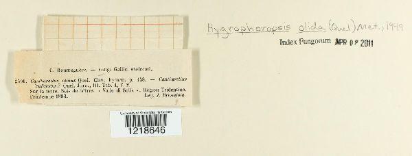 Hygrophoropsis olida image