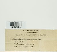 Hymenochaete cinnamomea image