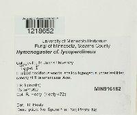 Image of Hymenogaster lycoperdineus