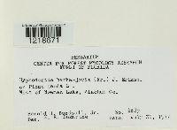 Image of Hyphodontia barba-jovis