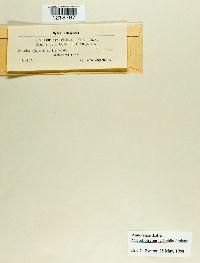 Microbotryum lychnidis-dioicae image
