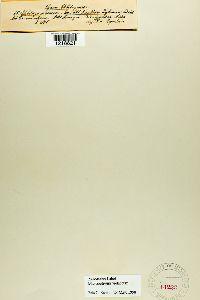 Microbotryum violaceum image