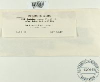Image of Peniophora limitata