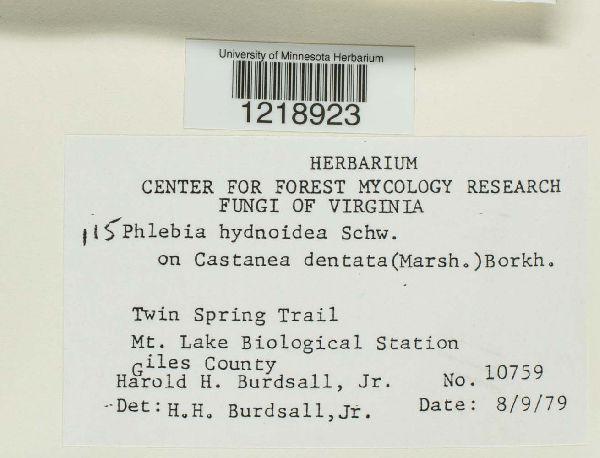 Phlebia hydnoidea image